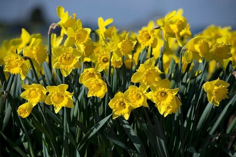7 wild flowers to spot in early spring daffodils in spring mightylinksfo