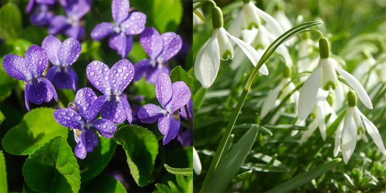7 wild flowers to spot in early spring violet snowdrops flowers spring mightylinksfo