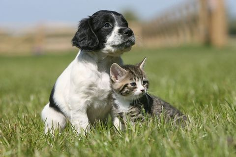 Little black and white puppy and tabby kitten standing together in the grasss