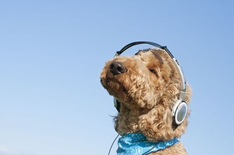 Fluffy brown dog with headphones on against bright blue sky