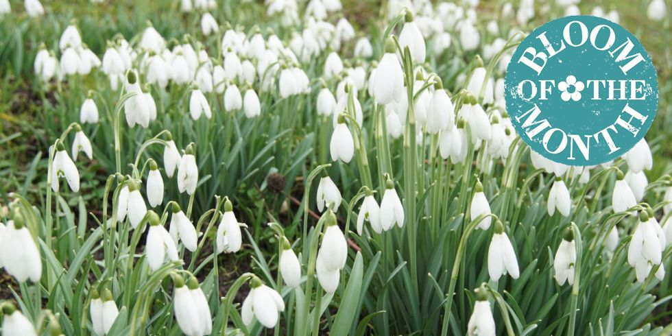 10 Tips To Make Snowdrops Last Longer Growing The Snowdrop Flower