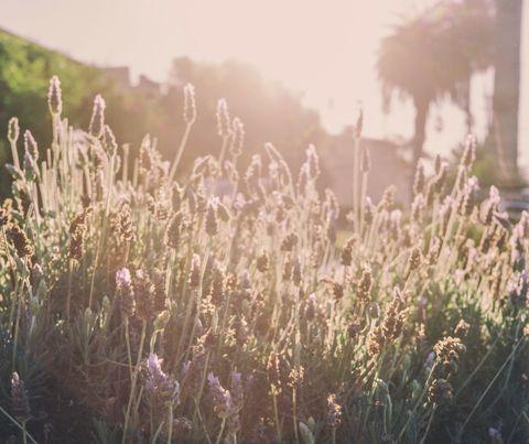 lavender garden sun