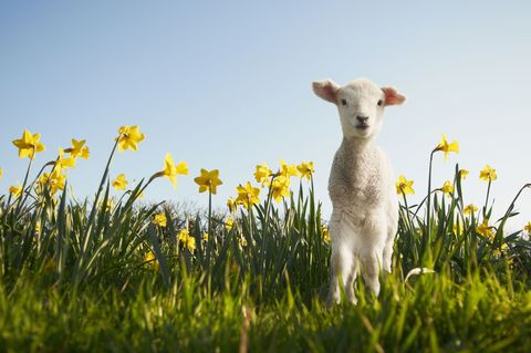 Where to see lambs this spring