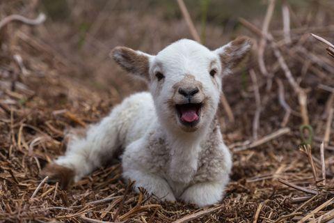 Happy lamb in spring sitting on brown hay