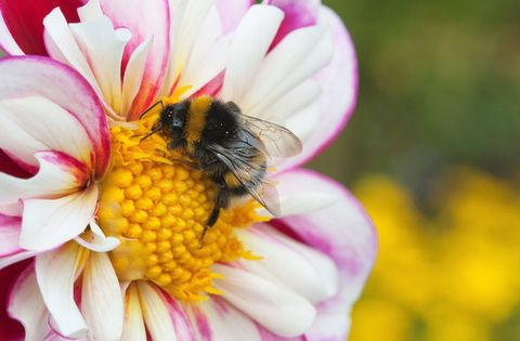 Bee on pink and white flower