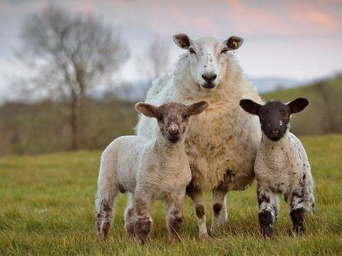 Ewe and two lambs in field during lambing season
