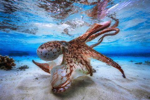 Underwater Photographer of the Year 2017: Dancing Octopus