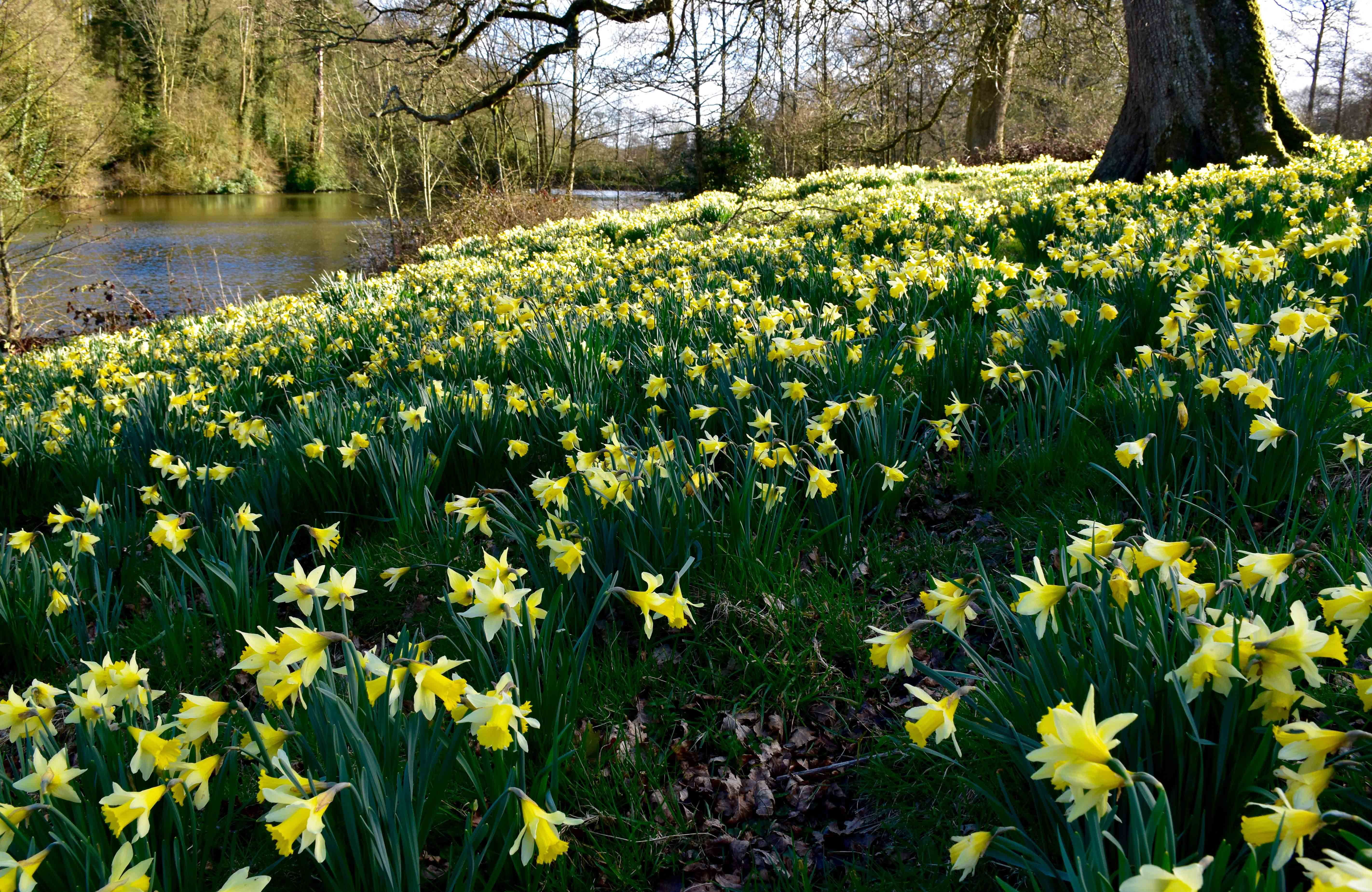 Best Places To See Daffodils In The Uk
