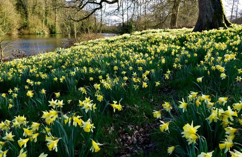 Wild daffodils by Turner's Paddock lake Stourhead, Wiltshire ©National Trust Images Tamsin Holmes