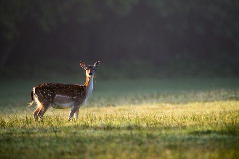 Female deer, or doe, in park