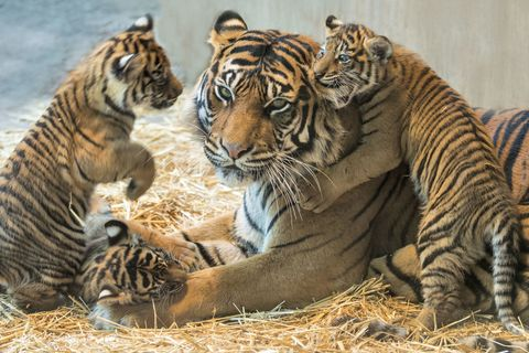 Mother tiger and her cubs