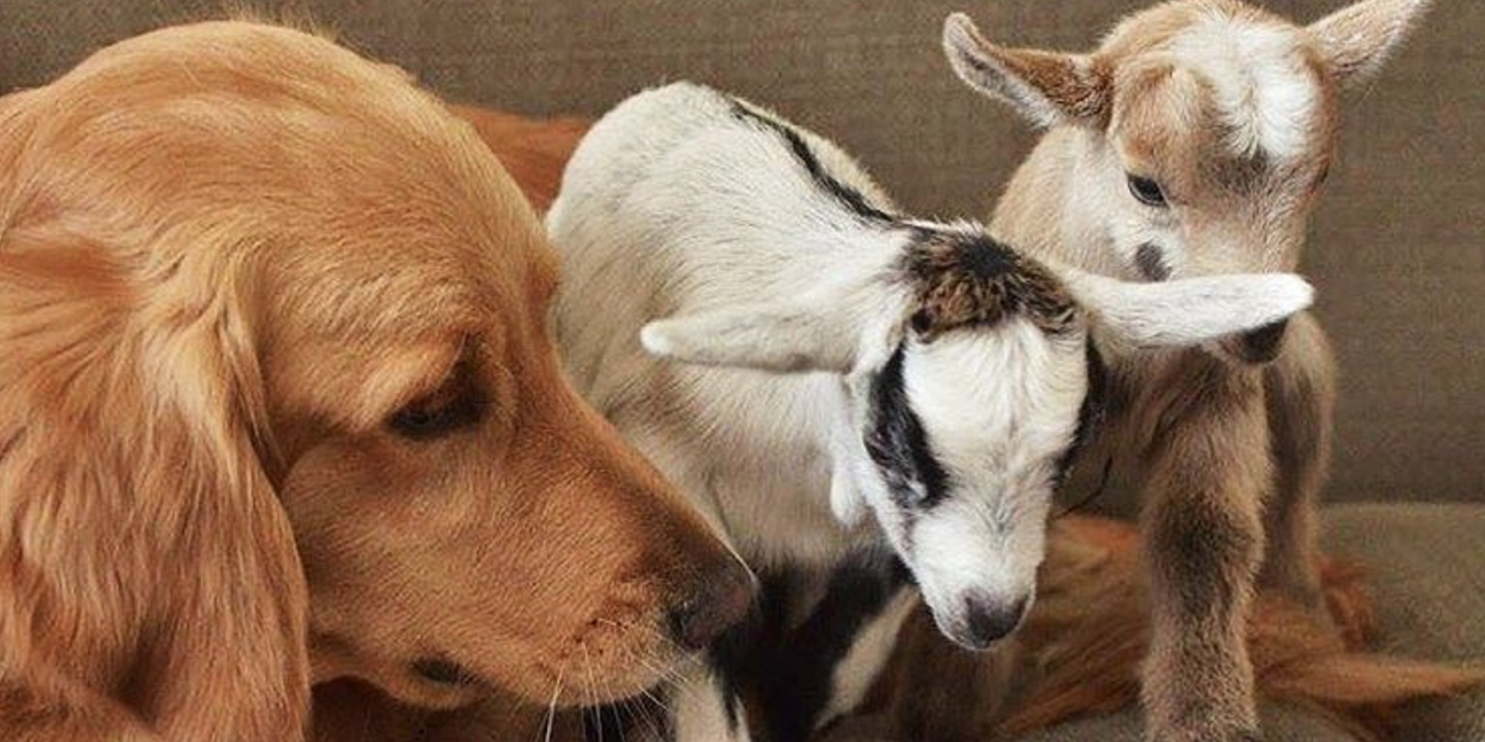 This golden retriever thinks these goats are her own babies