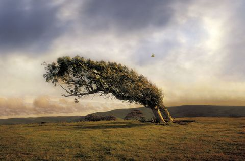 Windy weather pushing tree in countryside