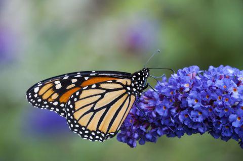 Butterfly on buddleja flower