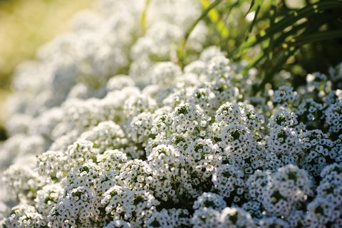 Flower, Plant, Evergreen candytuft, Botany, Flowering plant, Spring, Alyssum, wild carrot, Shrub, Candytuft,