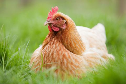 Best chickens for first-time flock owners