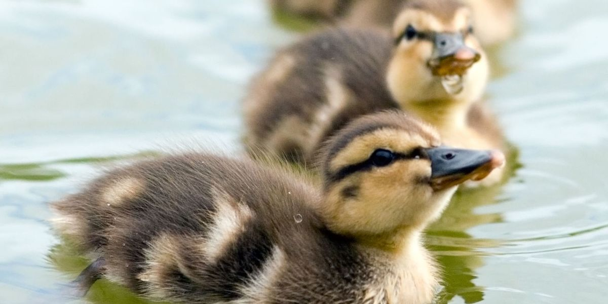 How to keep ducks - Duck keeping tips for beginners