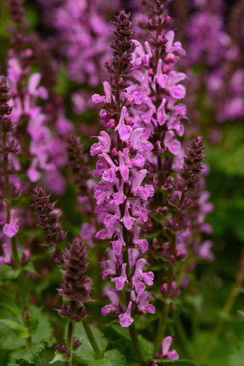 Plant, Flower, Purple, Lavender, Flowering plant, Terrestrial plant, Violet, Wildflower, Annual plant, Broomrape,