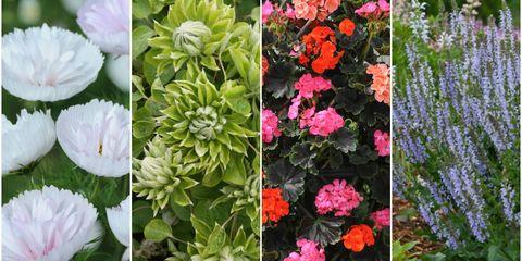 Chelsea Flower Show 2017: New plants