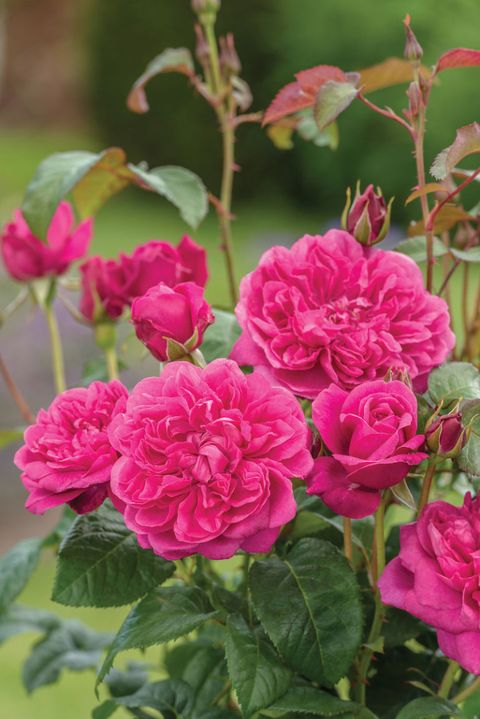RHS Chelsea Flower Show: David Austin Roses: Rosa James L Austin