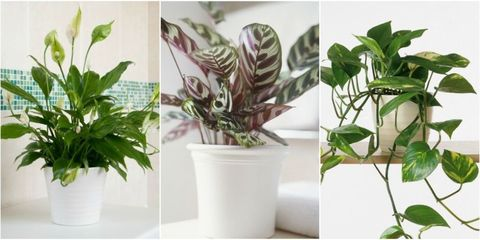 Best shade-loving houseplants - houseplant for dark corners