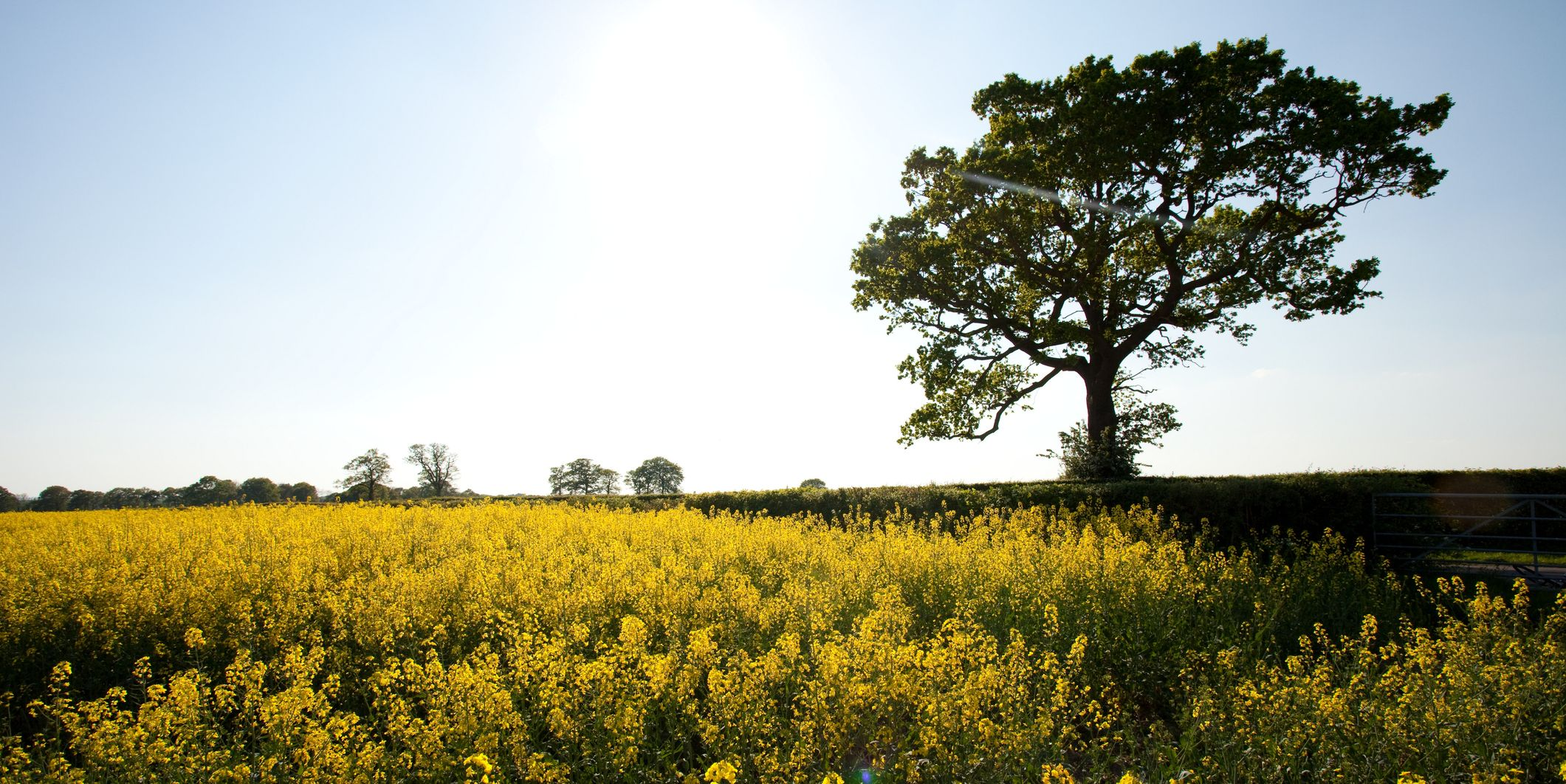 Kent countryside - field of yellow flowers and tree