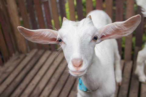 White baby goat - close up