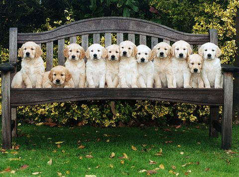Multiple golden retriever puppies sitting on bench