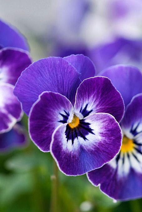 Plant, Yellow, Flower, Violet, Purple, Petal, Lavender, Botany, Flowering plant, Viola,