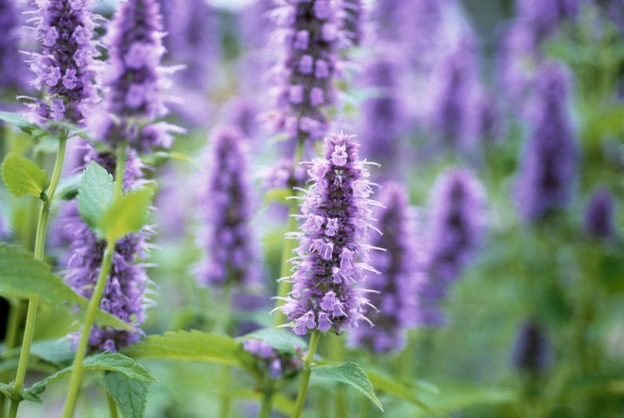 7 herbs with gorgeous blooms