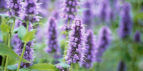 Plant, Purple, Lavender, Flower, Violet, Lavender, Flowering plant, Annual plant, Agriculture, Herbaceous plant,