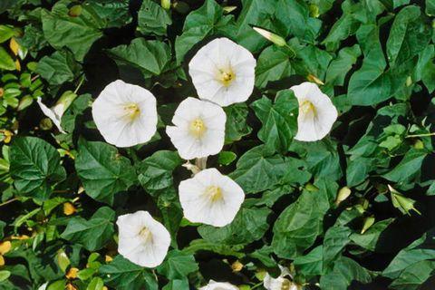 Yellow, Plant, Flower, Petal, Flowering plant, Wildflower, Meadow, Herbaceous plant, silverbush, Annual plant,
