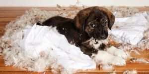 Naughty puppy tearing up pillow