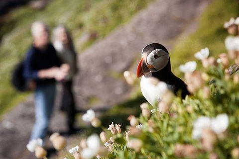 Birdwatchers spot puffin on hill - birdwatching