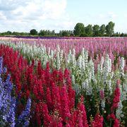 confetti flower fields