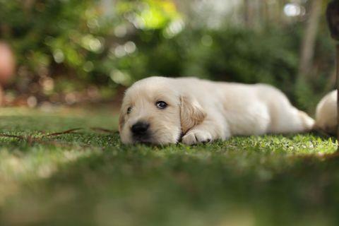 Puppy lying on green grass - golden retriever