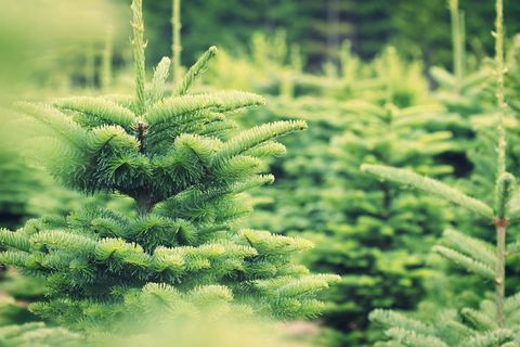 christmas tree farm - Christmas Tree Farms For Sale