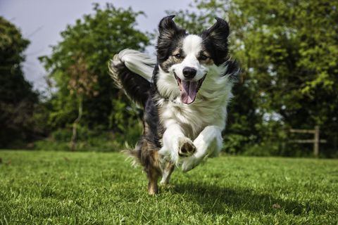Border Collie dog running across field