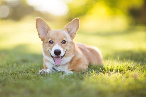 Corgi on grass - dog