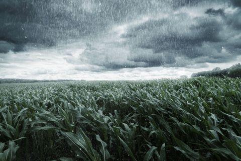 Heavy rain on wheat field