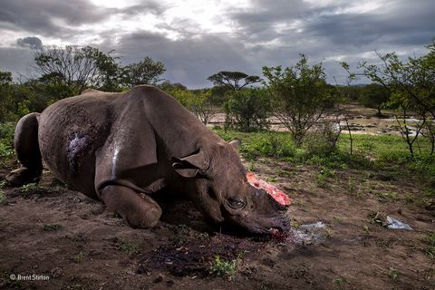 Black rhino - Wildlife Photographer of the Year image