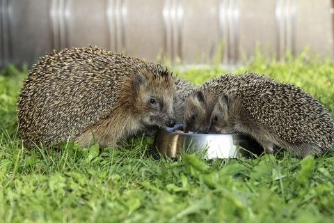 hedgehogs eating from bowl in garden