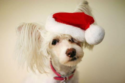 puppy in Santa hat
