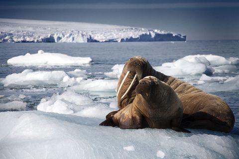 Walrus Blue Planet 2