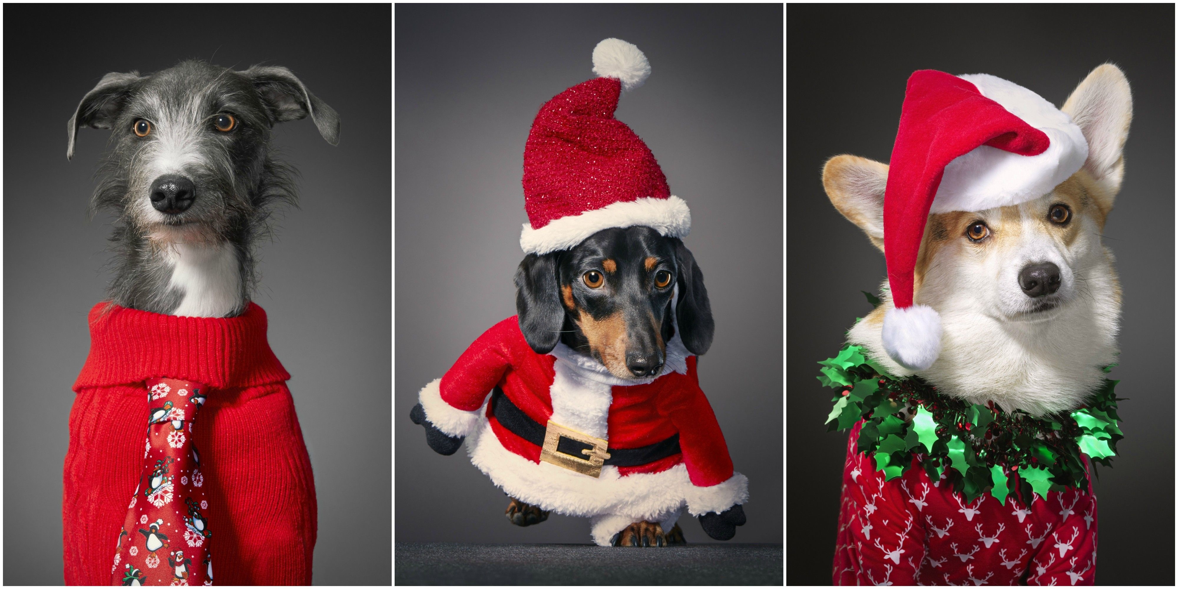 12 Dogs Of Christmas.This 12 Dogs Of Christmas Gallery Raising Money For