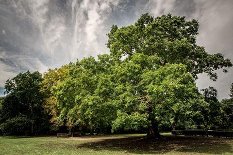 Gilwell oak tree - Tree of the Year - Woodland Trust - Martyn Milner WTML