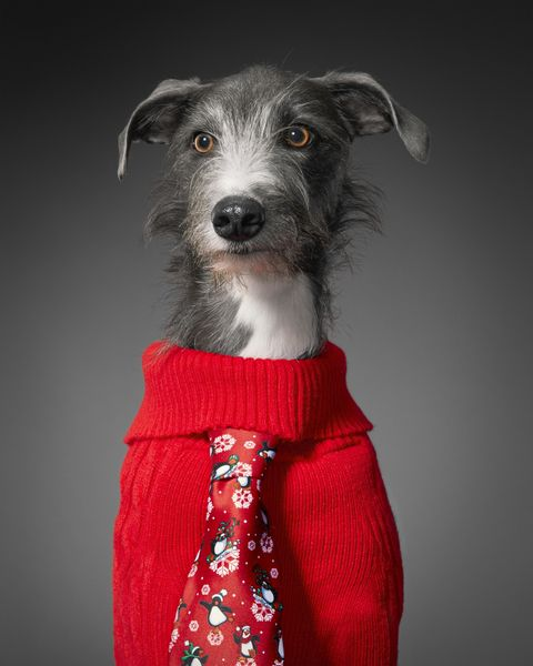 Blue-eyed Blue the Lurcher loves to either run like the wind on Hackney Marshes - or curl up asleep on a warm sofa. He'll happily snooze for up to 18 hours at a day – but managed to muster all his energy this December to pull on a snazzy Christmas sweater for Save the Children. Other hobbies include rolling in badger poo and stealing slippers.