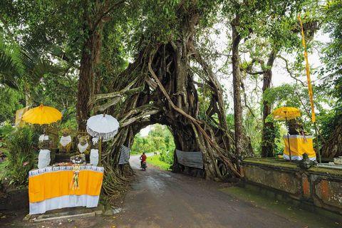 Wise Trees - Bunut Bolong