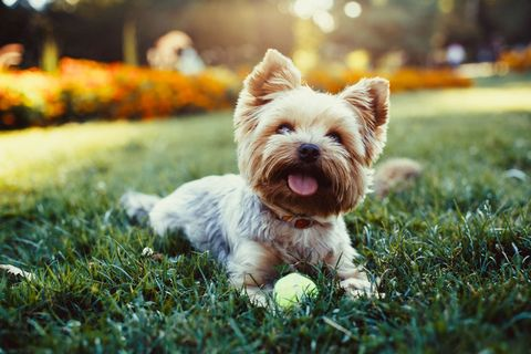 Happy dog - Yorkshire Terrier