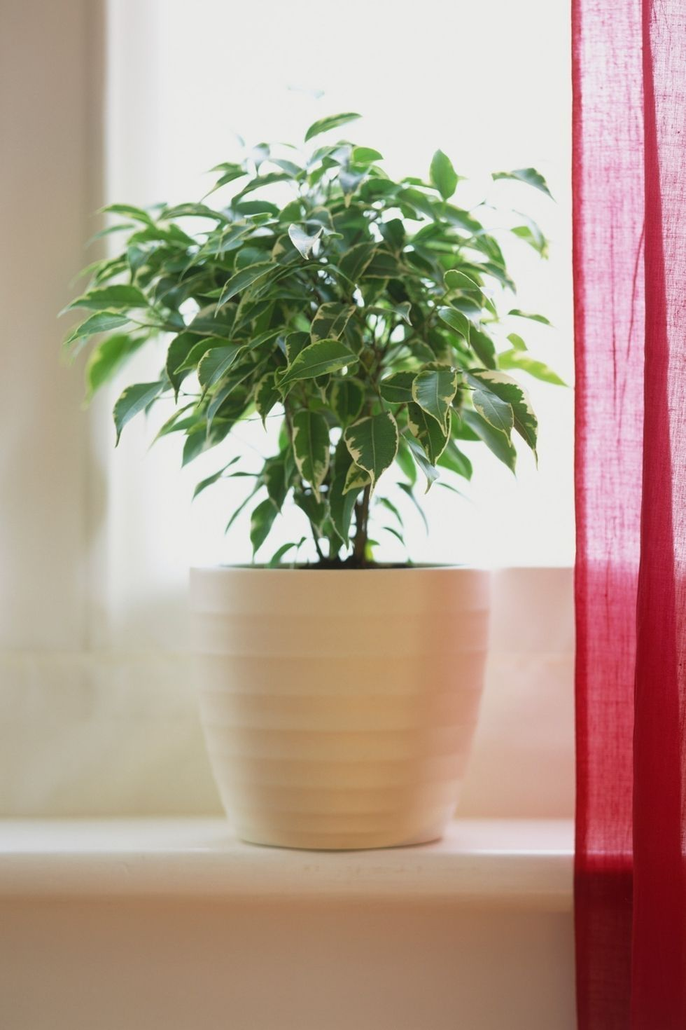 "<p><strong data-redactor-tag=""strong"" data-verified=""redactor"">Care level:</strong> Intermediate</p><p>Bright but indirect light is best for this plant, which people often put in common spaces of their homes, like the <a href=""http://www.housebeautiful.com/lifestyle/gardening/a8439/houseplant-cheat-sheet/"" data-href=""http://www.housebeautiful.com/lifestyle/gardening/a8439/houseplant-cheat-sheet/"" target=""_blank"">living room</a>. Water it every few days to keep the soil moist at all times. Since this plant is full and features many leaves, opt for a simple, white pot.<span data-redactor-tag=""span"" data-verified=""redactor""></span></p><p><a href=""https://www.amazon.co.uk/Ficus-benj-Kinky-Houseplant-Weeping/dp/B00VFV3NM0/ref=sr_1_7?s=outdoors&ie=UTF8&qid=1515603145&sr=1-7&keywords=Weeping+Fig"" target=""_blank"" data-tracking-id=""recirc-text-link""><strong data-redactor-tag=""strong"" data-verified=""redactor"">BUY NOW</strong></a></p>"